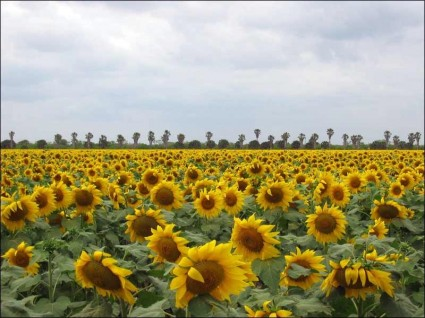 Sunflowers in Brownsville. Chase A. Fountain, © Texas Parks and Wildlife Department