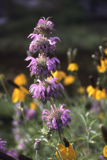 Horsemint blooming near Devil's River. Chase A. Fountain, © Texas Parks and Wildlife Department