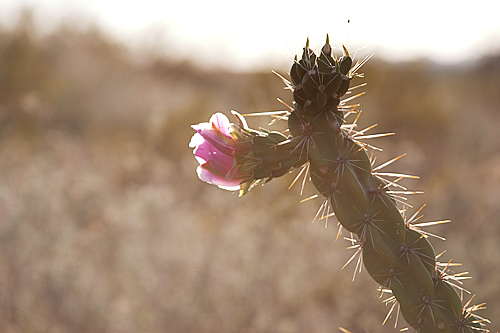 Cholla in bloom. Big Bend Country, Texas. Photograph by Valerie Asensio.
