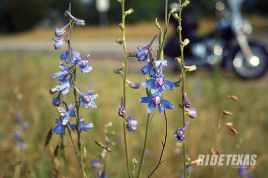 Roadside larkspur on US 69 in the heart of the Texas Forest Trail.