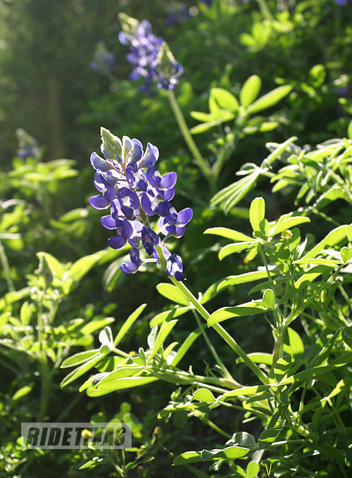 Texas' most iconic wildflower, the bluebonnet has a short, but stunning peak blooming season along roadsides across the state.